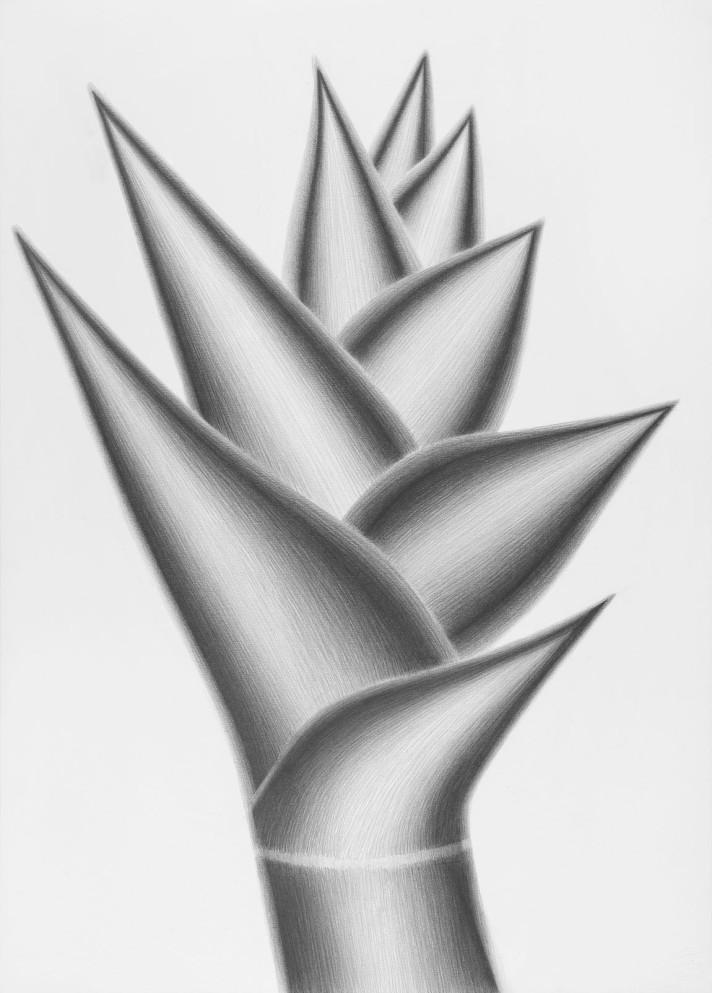 Heliconia Angélica, 2013. Lápiz sobre papel, 69 x 50 cm